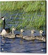 Canada Geese Branta Canadensis Acrylic Print
