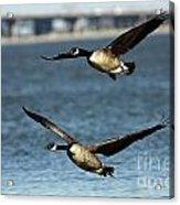 Canada Geese Coming In For A Landing Acrylic Print