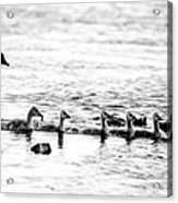 Canada Geese Family II Bw Acrylic Print