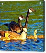 Canada Geese Family Acrylic Print by Paul Ge