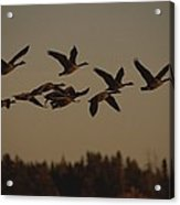 Canada Geese Fly In A Group Acrylic Print