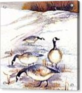 Canada Geese In Stubble Field Acrylic Print