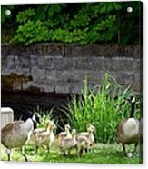 Canada Geese With Goslings Acrylic Print