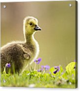Canada Goose Baby Acrylic Print