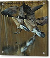Canada Goose Trio Landing - C0843m Acrylic Print by Paul Lyndon Phillips