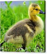 Canada Gosling Acrylic Print