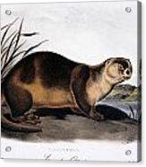 Canada Otter, 1846 Acrylic Print