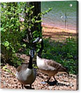 Canadian Geese-12 Acrylic Print