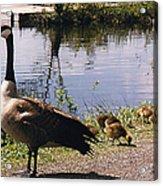 Canadian Geese At Trojan Lake Ny Acrylic Print
