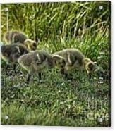 Canadian Goose Gosslings Acrylic Print