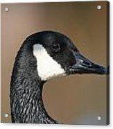Canadian Goose Acrylic Print by Joanna Johnson