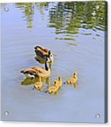 Canadian Goose Love  Acrylic Print
