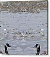 Canadian Goose Symmetry Acrylic Print
