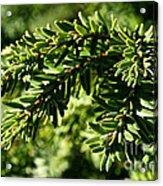 Canadian Hemlock Tips Acrylic Print