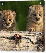 Canadian Lynx Kittens Looking Acrylic Print