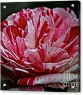 Candy Cane Rose Acrylic Print