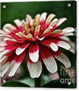 Candy Color Zinnia Acrylic Print