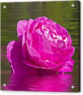 Candy Pink Rose  Acrylic Print
