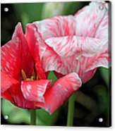 Candy Stripers Acrylic Print