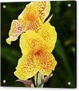 Canna Lily 1 - Maui - Hawaii Acrylic Print