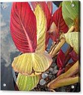 Canna Lily Fall Colors Acrylic Print