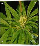 Cannabis Bud Acrylic Print