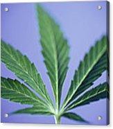 Cannabis Leaf Acrylic Print