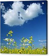 Canola Flowers, Marquette, Manitoba Acrylic Print