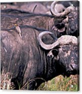 Cape Buffalo With Tick Bird Acrylic Print