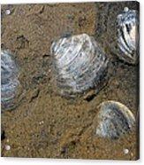 Cape Cod Clam Shells Acrylic Print