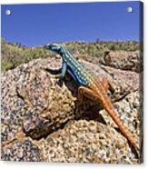 Cape Flat Lizard  South Africa Acrylic Print by Piotr Naskrecki