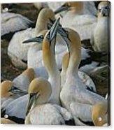 Cape Gannets Acrylic Print