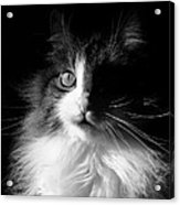 Captivated Cat - A Tribute Acrylic Print