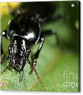Carabid Beetle Rootworm Rredator Acrylic Print