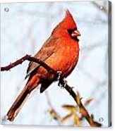 Cardinal 1 Acrylic Print