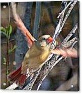 Cardinal 4 Acrylic Print