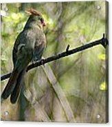Cardinal 5 Acrylic Print