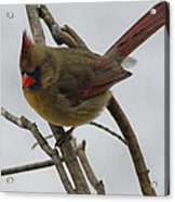 Cardinal Cold Winter Stare Acrylic Print