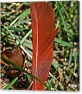 Cardinal Feather Acrylic Print