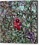 Cardinal Feb 2012 Acrylic Print