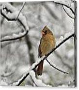 Cardinal Female 3652 Acrylic Print