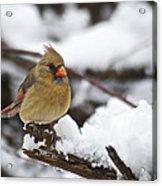 Cardinal Female 3679 Acrylic Print
