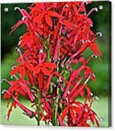 Cardinal Flower Full Bloom Acrylic Print