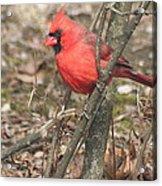 Cardinal In A Bush Acrylic Print