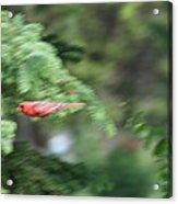Cardinal In Flight Acrylic Print