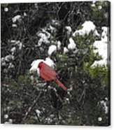 Cardinal In The Snow Acrylic Print by Rebecca Cearley