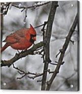 Cardinal Male 3666 Acrylic Print
