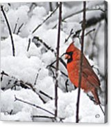 Cardinal Male 3669 Acrylic Print