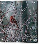 Cardinal On Ice Acrylic Print