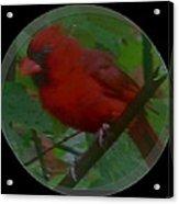 Cardinal Ring Acrylic Print